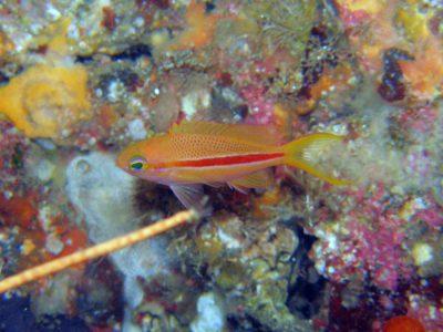 スジハナダイ幼魚
