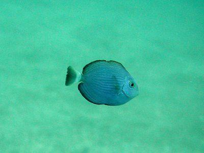 ヒラニザ幼魚
