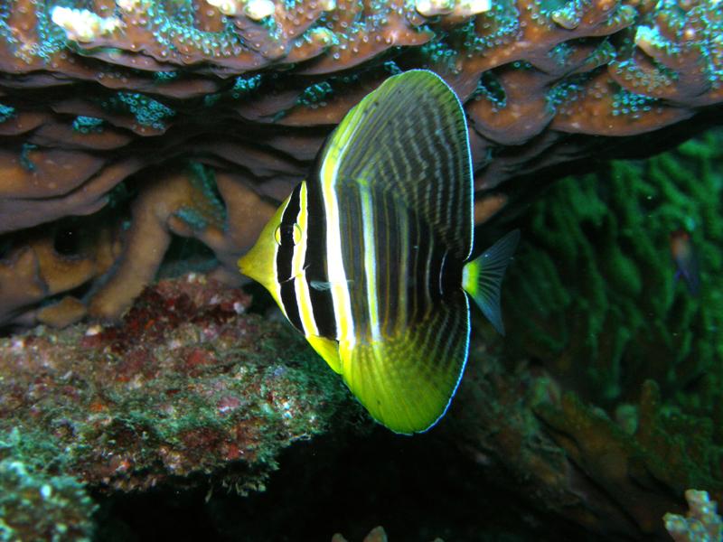 ヒレナガハギ幼魚