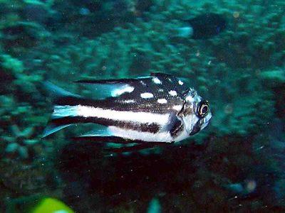 ホホスジタルミ中成魚