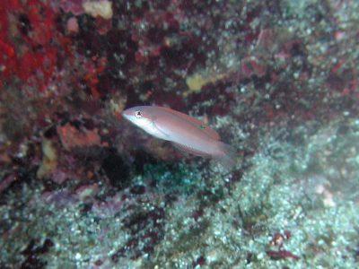 ホンベラ幼魚