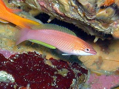 ホシササノハベラ幼魚