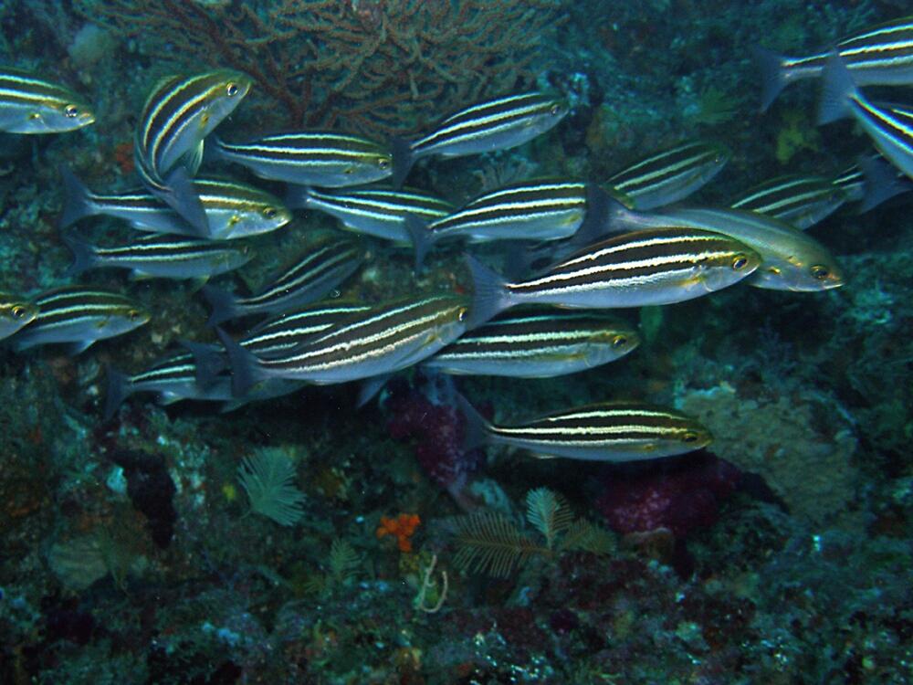 イサキ幼魚