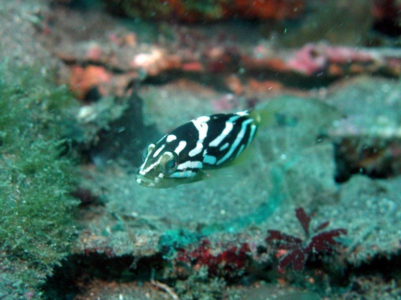 カケハシハタ幼魚
