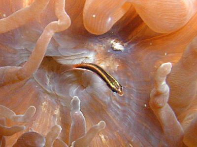 コガシラベラ幼魚