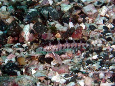 コウライトラギス幼魚