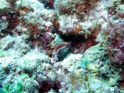 クロヘリイトヒキベラの幼魚