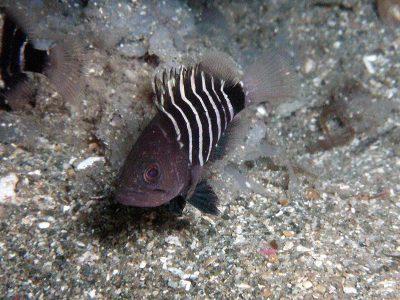 マハタ幼魚