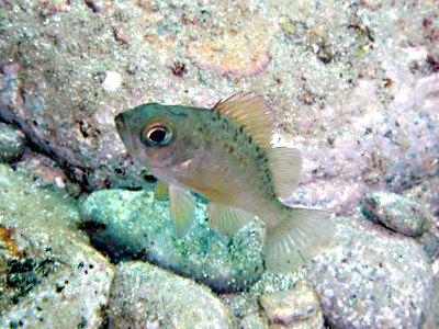 メバル幼魚