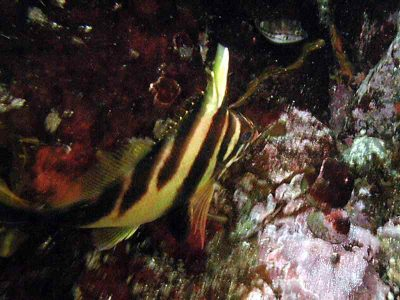 ミギマキ幼魚