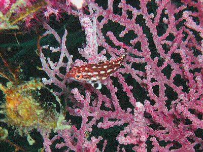 モンツキベラ幼魚