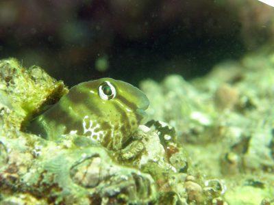 日本肉食系_長崎県大村湾で撮影した海の生き物一覧【海的ダイバーサイト】