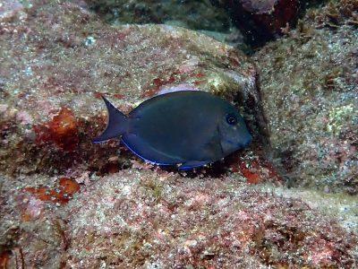ナガニザ幼魚