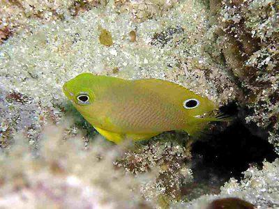 ニセネッタイスズメ幼魚