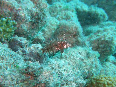 オビテンスモドキの幼魚