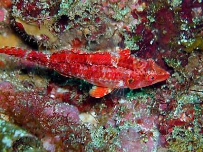 オハグロベラ幼魚