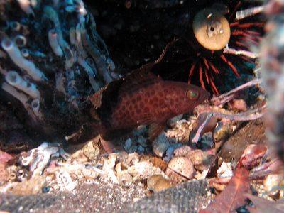 オオモンハタ幼魚