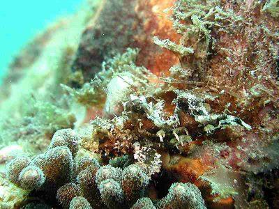オニカサゴ幼魚