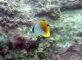 トゲチョウチョウウオ幼魚
