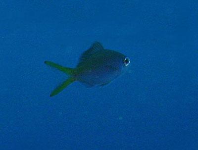 ウメイロ幼魚